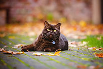 PET TAGS DIRECT, Beautiful Brown Cat Lyi