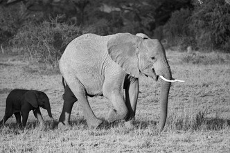 The Guardian - Tuskers are protective of their calf