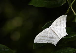 Type of Moth