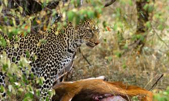 Leopard and its kill