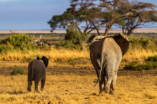 The Jumbo Cover - as the mother and calf go into the Great Wide