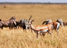 Species 1: Grants Gazelle