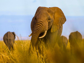 African Tuskers: Don't Mess with my troupe