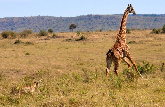 Scene 3: Giraffe gains momentum