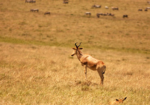 TOPI: They are found in the savannas, semi-deserts, and floodplains of sub-Saharan Africa