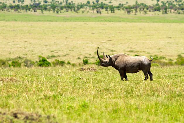 The Massive African Rhino