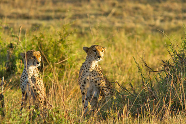 Spotted Cheetah at sunrise