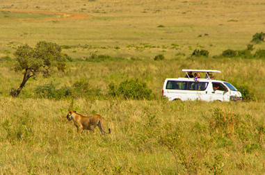Lioness gives up on chase and turns !