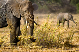Tusker picking up hay to feed her calf