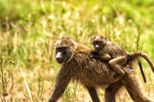 Mother Baboon gives her baby a Ride on her back