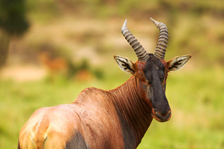 TOPI: Highly social & fast type of antelope