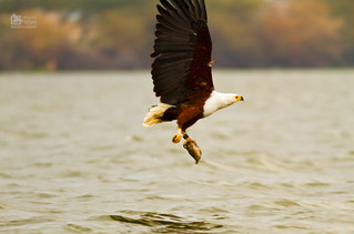 Great African Eagle with her catch - Lake Naivasha