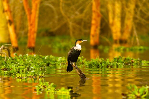Cormorant awaits