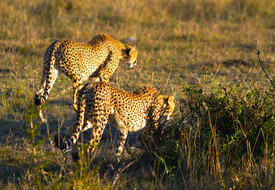 Golden colored Cheetah duo walk away into the Savannah