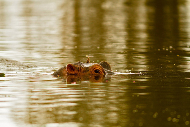 'Who's there?!' - Hippo comes out