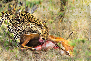 Leopard finally has her meal