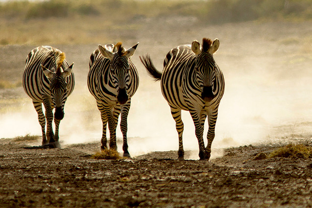 Different Strokes - Zebras are zillion here