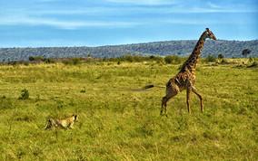 Scene 2: Giraffe starts to run