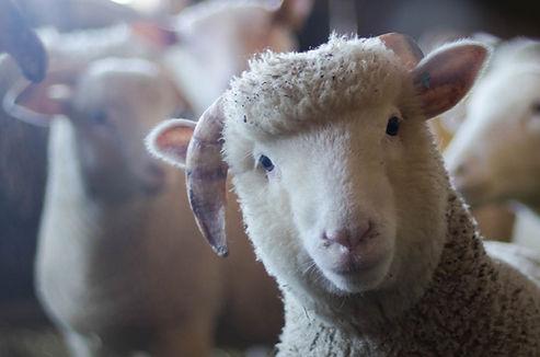 HVC-Sheep_edited_edited.jpg