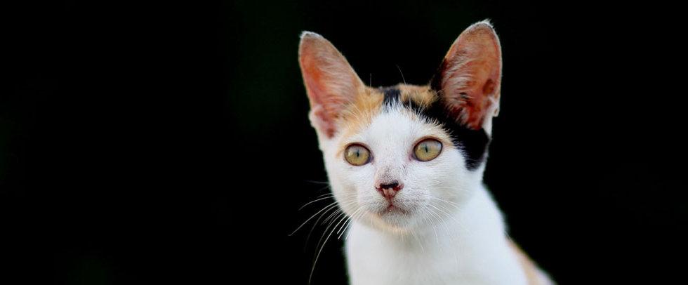 HVC-Cat.jpg