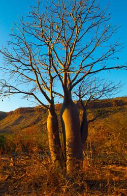 Boab Tree Wyndham WA
