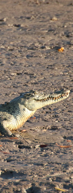 Wyndham's Salt Water Crocodiles