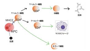 概略依患者狀況合適的免疫細胞療法