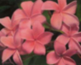 Balmert- Kaneohe Sunburst Plumeria 16 x