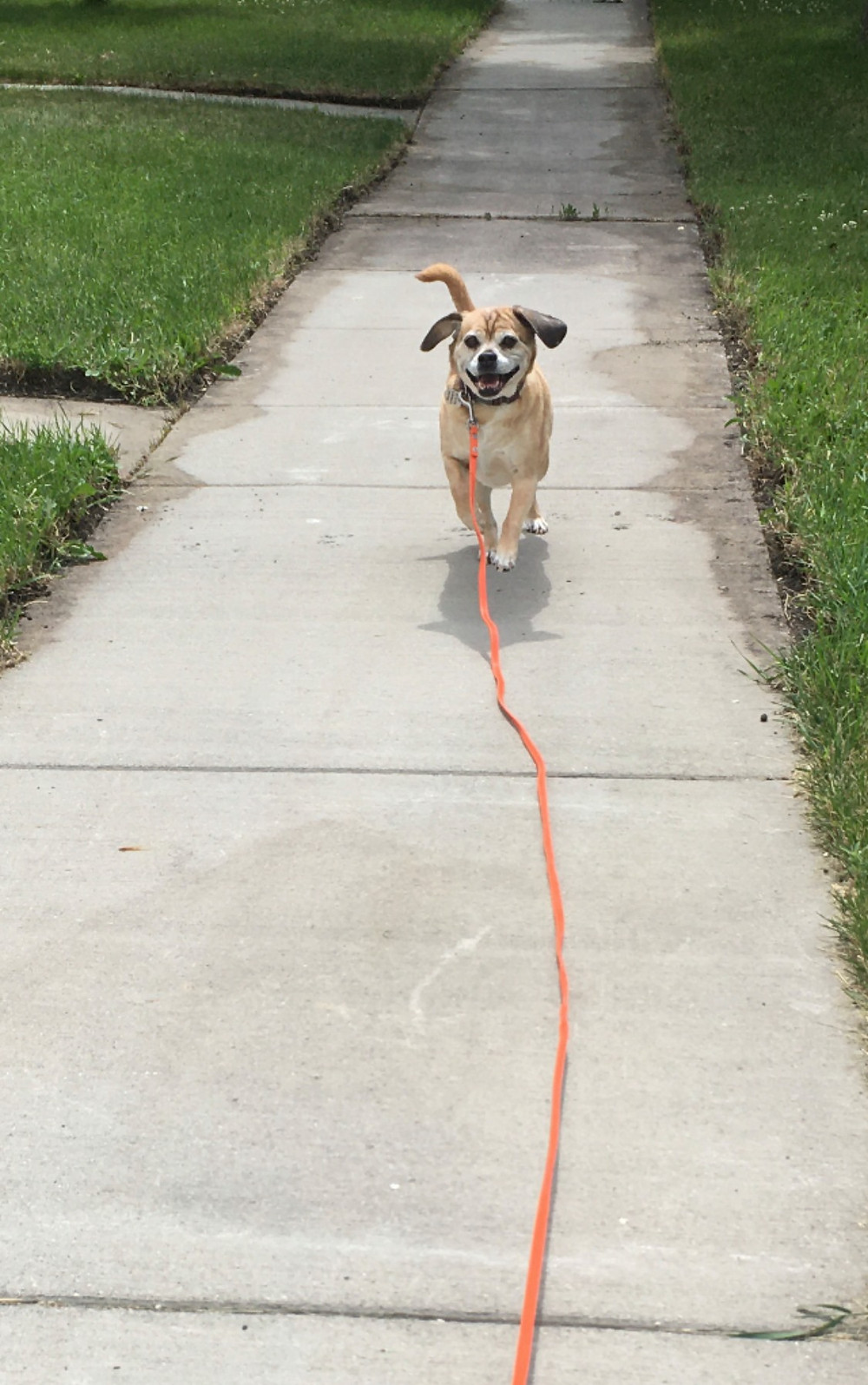 A small fawn colored dog on a 15 foot orange leash is running towards the handler who is not pictured.