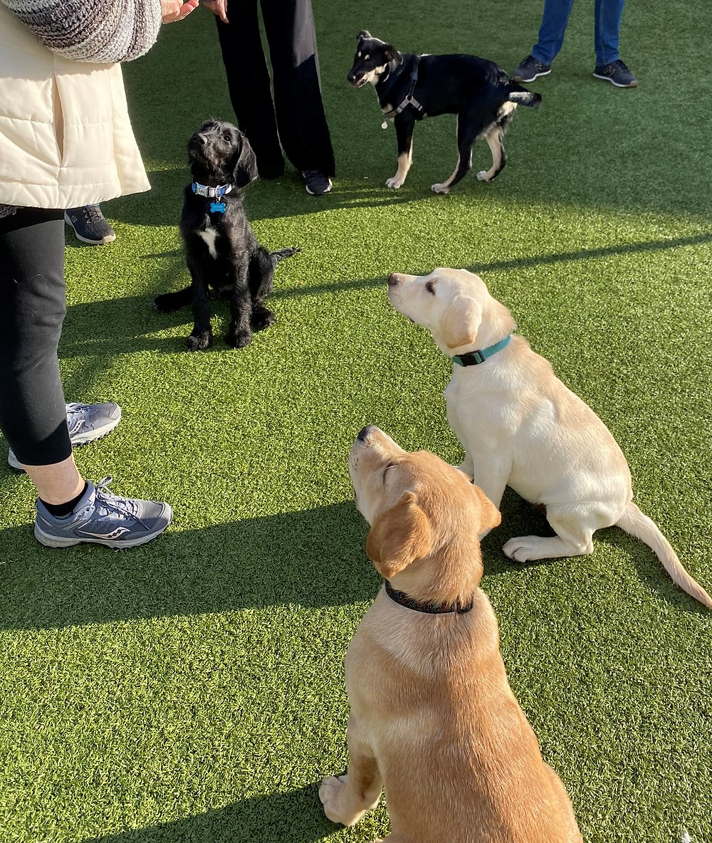 Three dogs sit looking at handler. A Shepard mix puppy waits for them to get up and play