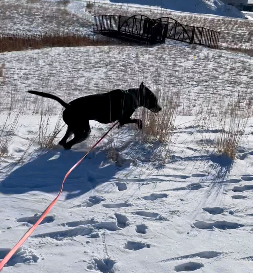 A medium sized black dog pounces on snow and prairie grass. A picturesque foot bridge is in the background.