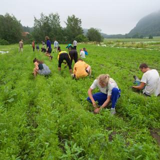 Weeding at Bergsmyrene biodynamic farm