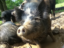 Happy Little Muddy Pig