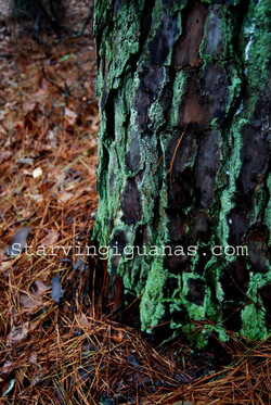 "[322]    ""Glowing Green Pine Bark"""
