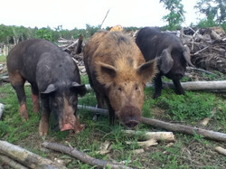 3 types of pigs