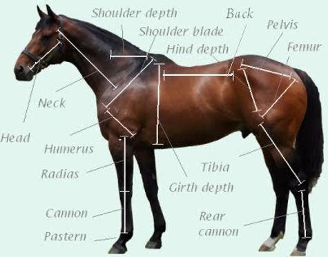 Racehorse Anatomy