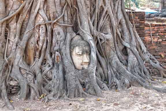 Ayutthaya - Wat Maha That: la testa del Buddha tra i rami degli alberi -