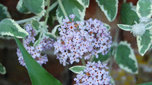BUDDLEIA CRISPA 'STONE HOUSE COTTAGE'
