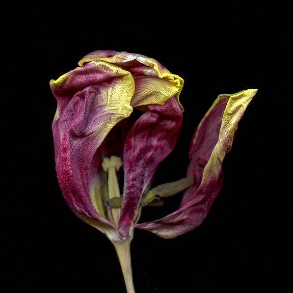 purple-tulip-CU.jpg