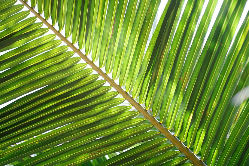 coconut-leaf-2212621_1920.jpg