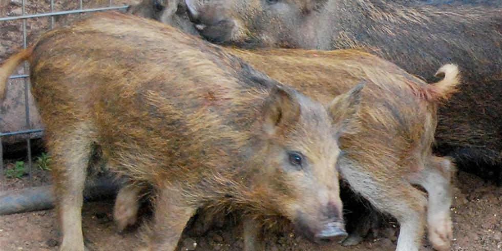 Feral Hog Management Workshop