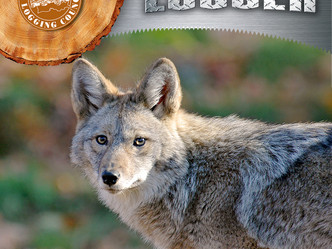 Controlling coyotes — Is it worth the effort?