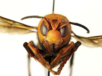 Asian giant hornet lookalikes concern some