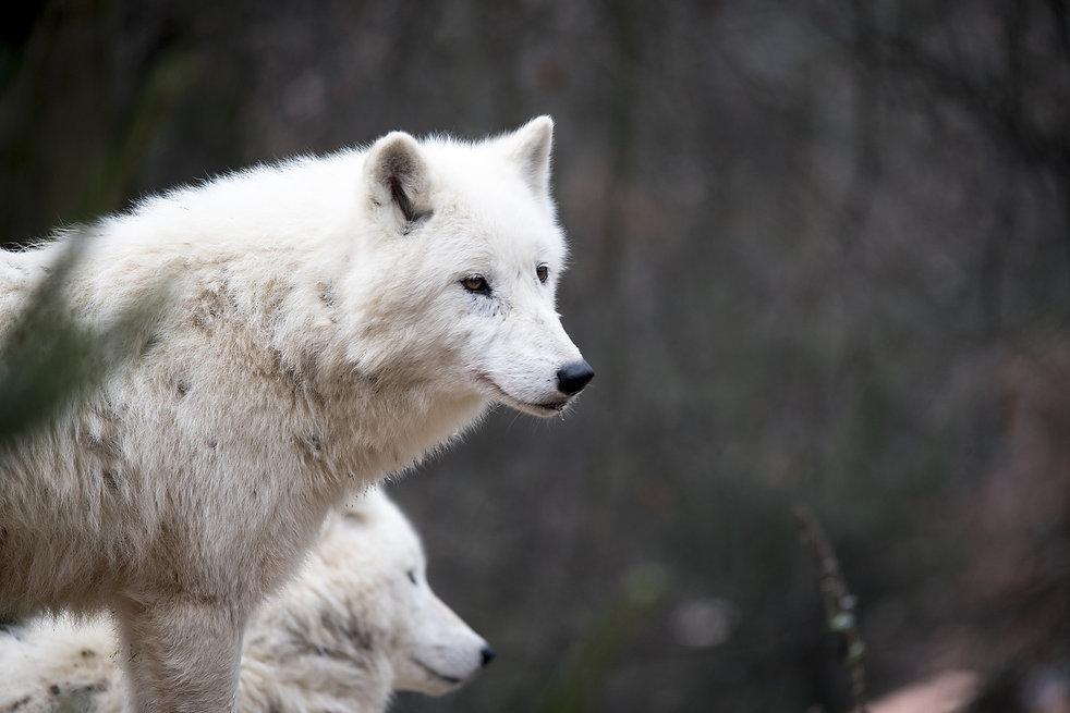 white-wolf-1903107_1920.jpg