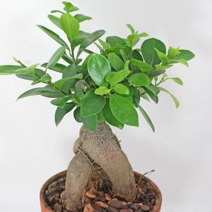 Cómo cuidar tu Ficus Microcarpa Ginseng