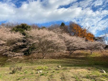 ある冬の日のキャンパス-冬空に桜が満開です-