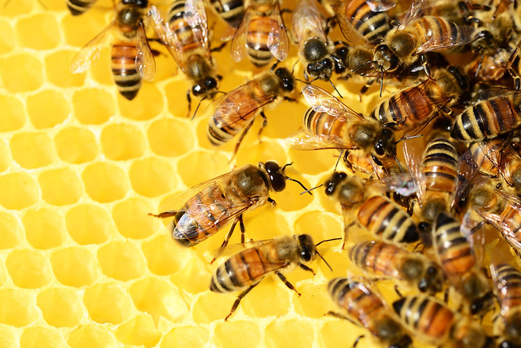 Imker honing kopen