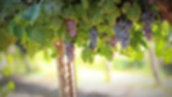 grapes-1844745_1920.jpg