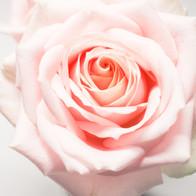 roze roos.jpg