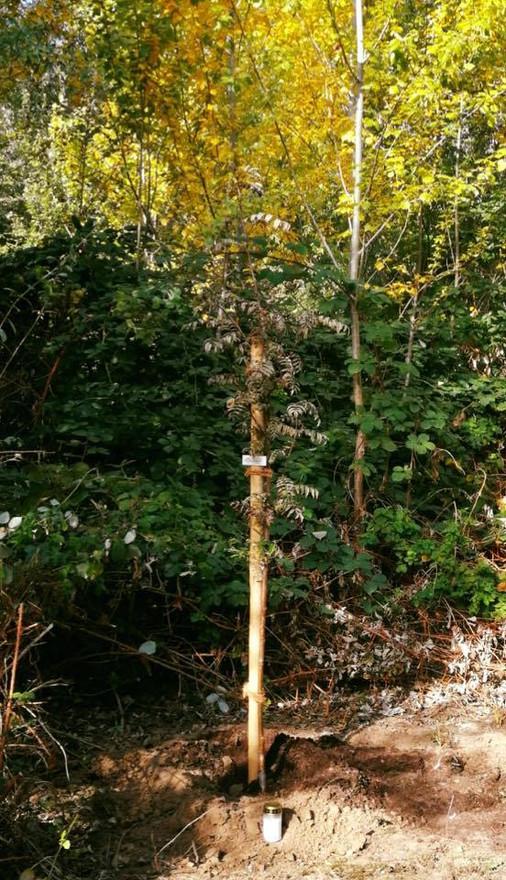Baum für Daniel in Ingelheim